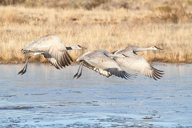 Sandhill Crane  (Grus canadensis) stock photo