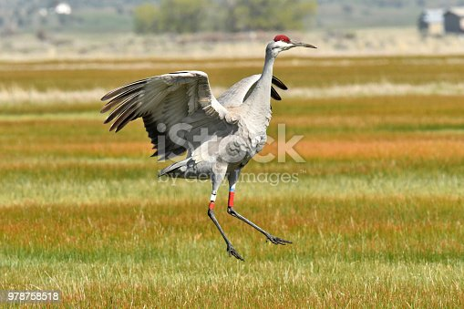 a crane dances to impress his mate in northern Califonia