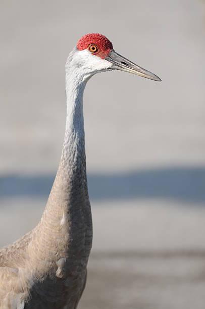 Sandhill Crane Profile stock photo