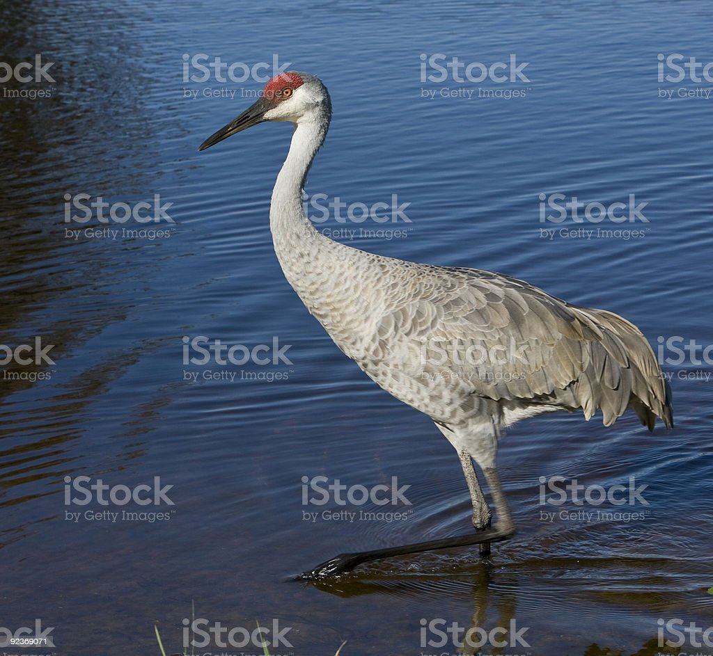 Sandhill Crane Wading in a Lake. royalty-free stock photo