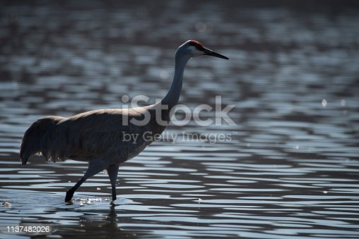 North American Sandhill crane.