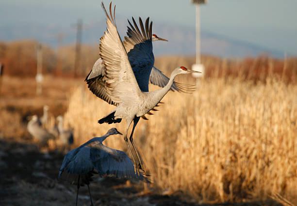 Sandhill Cranes at Dusk stock photo