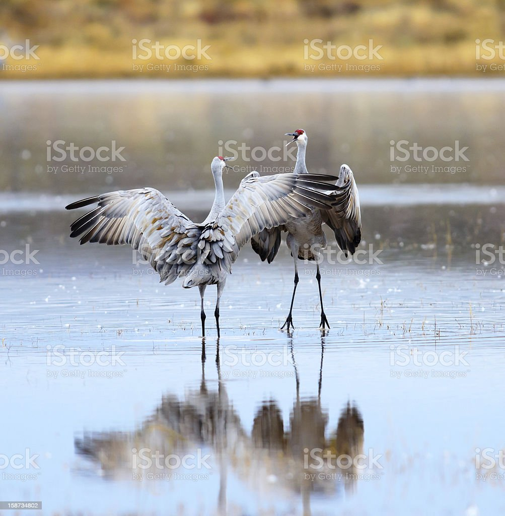 Sandhill Cranes Dancing stock photo