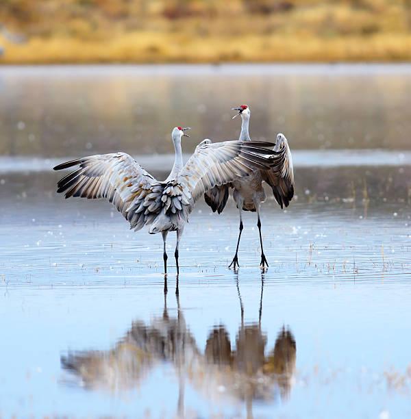Sandhill Cranes Dancing stock photo