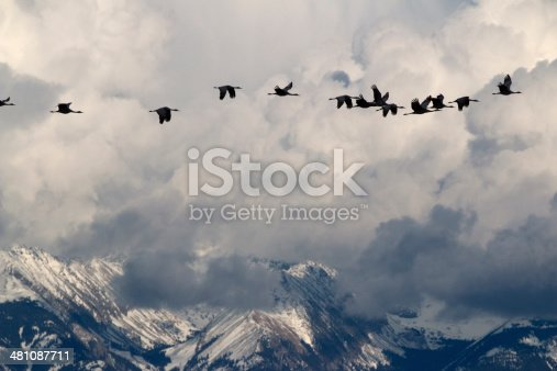 Sandhill Cranes fly in formation past storm clouds and the snow covered Sangre de Cristo Mountains in the Monte Vista National Wildlife Refuge in Colorado's San Luis Valley at a time when 23,000 to 27,000 cranes migrate through the state.