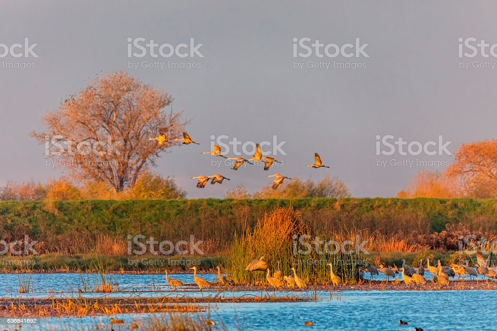 Sandhill Cranes Flying at Merced Wildlife, California, USA stock photo