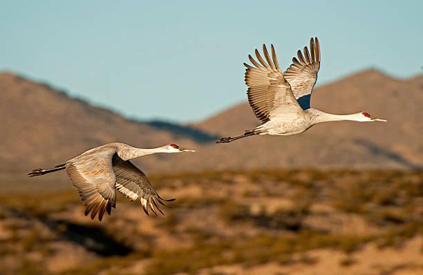Sandhill Cranes Flying At Sunrise stock photo