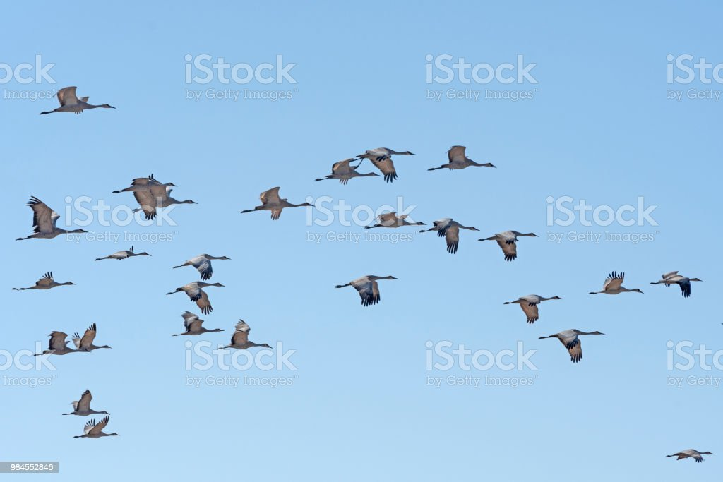Sandhill Cranes flying during Migration near Keaney, Nebraska