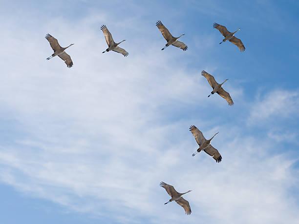 Sandhill Cranes Flying in V Formation stock photo