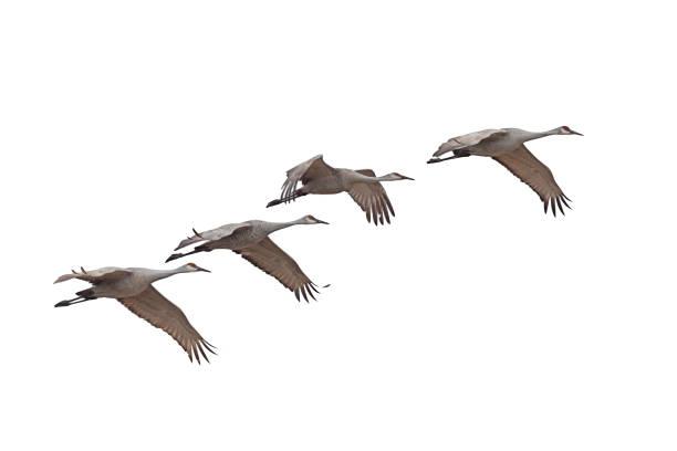 sandhill cranes flying on a white background - bocian zdjęcia i obrazy z banku zdjęć