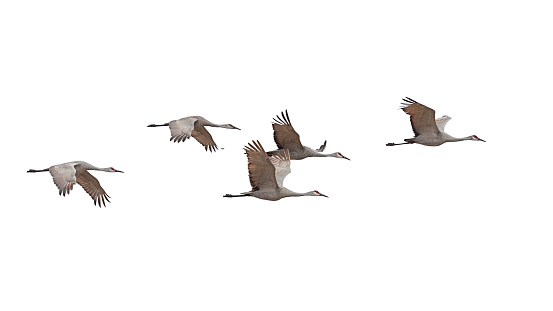 Sandhill Cranes Flying on a White Background
