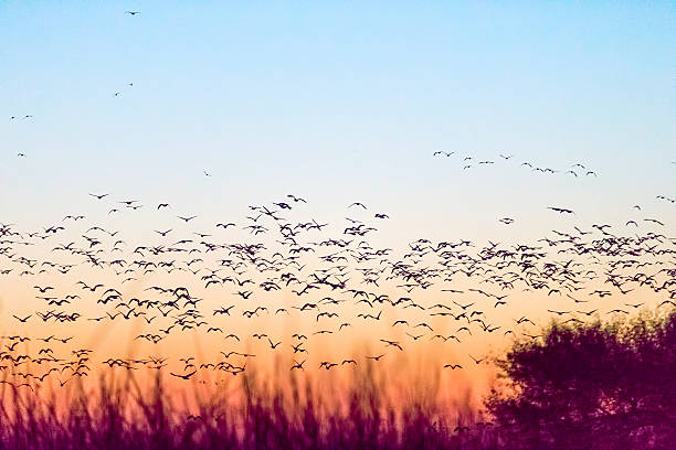 Sandhill Cranes Flying on sunrise, California, USA stock photo