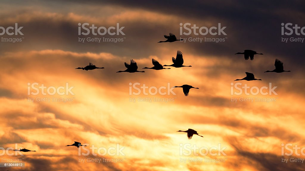 Sandhill cranes in flight at sunset stock photo
