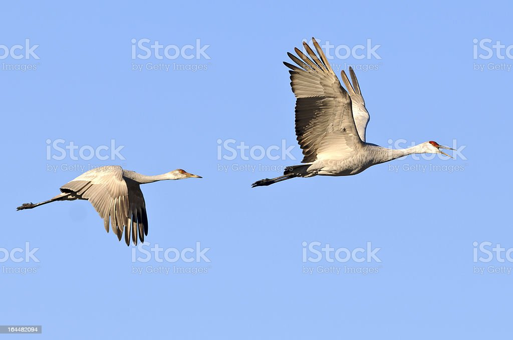 Sandhill Cranes (Grus Canadensis) in Flight royalty-free stock photo