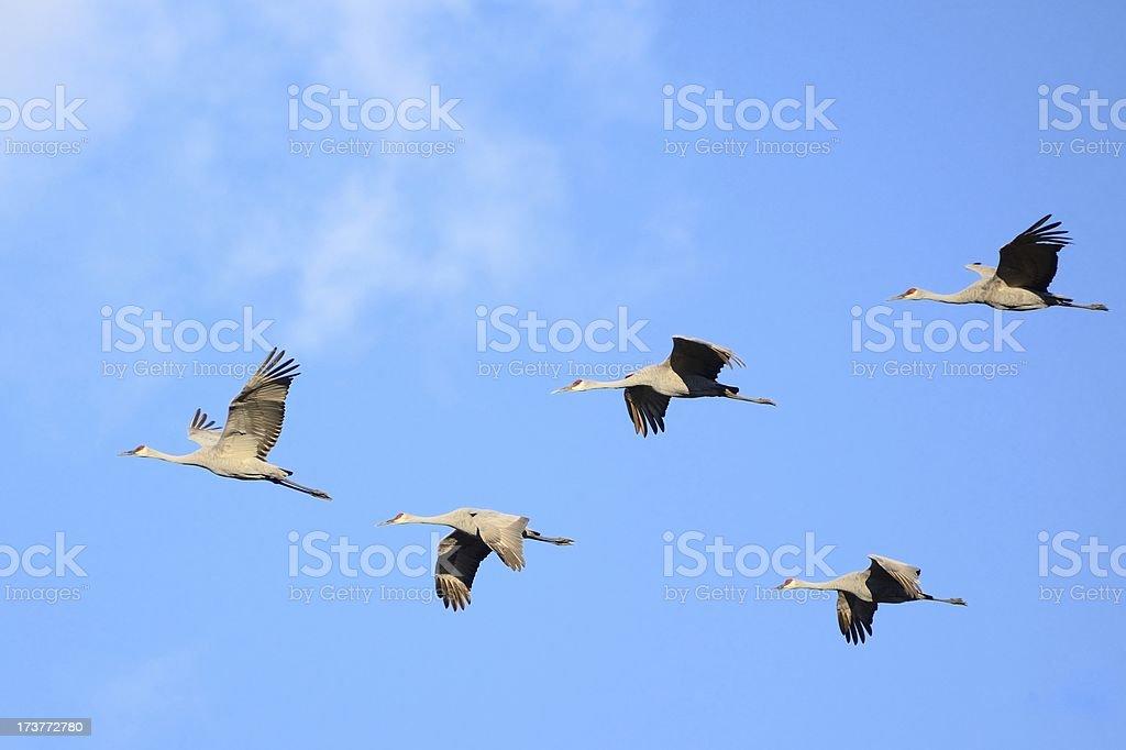 Sandhill Cranes in Flight royalty-free stock photo