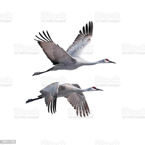 Sandhill cranes in flight picture id508541084?b=1&k=6&m=508541084&s=612x612&h=ubstb g kls   m5s63djel3eyaystm xxkdgsrqydm=