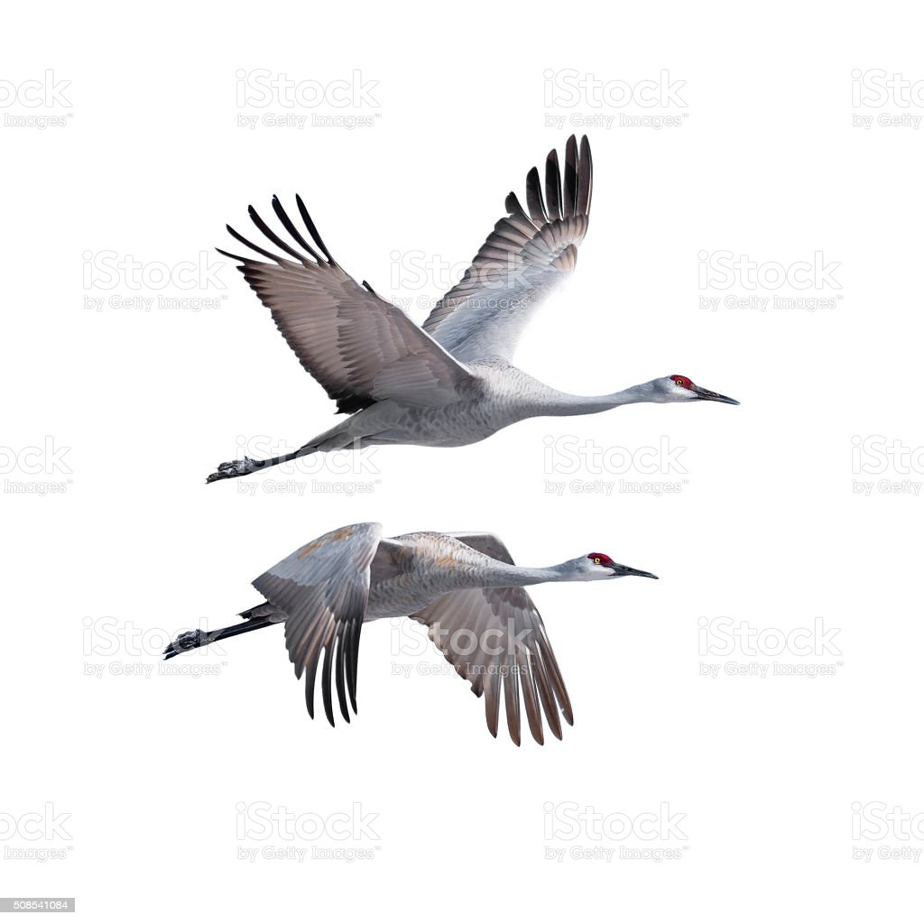 Sandhill Cranes in flight stock photo