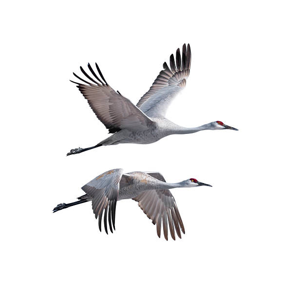 sandhill cranes in flight - crane bird stock pictures, royalty-free photos & images