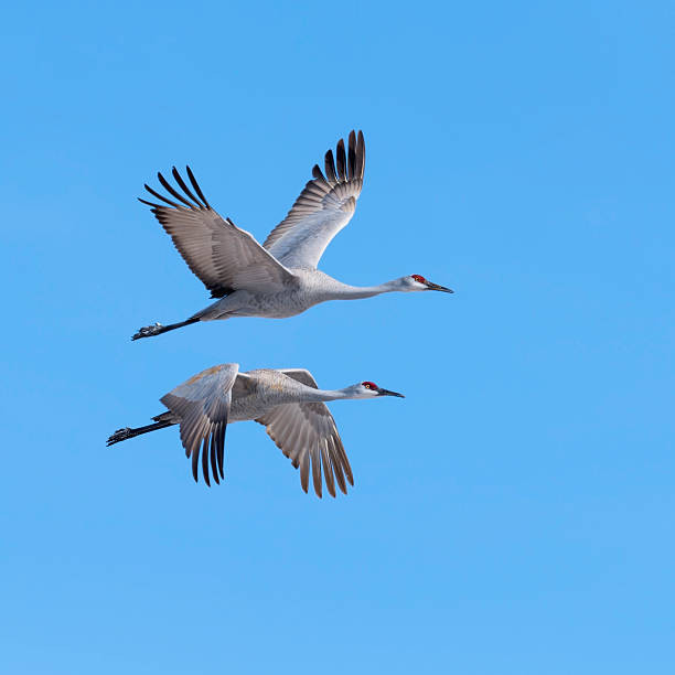 Sandhill Cranes in flight stock photo
