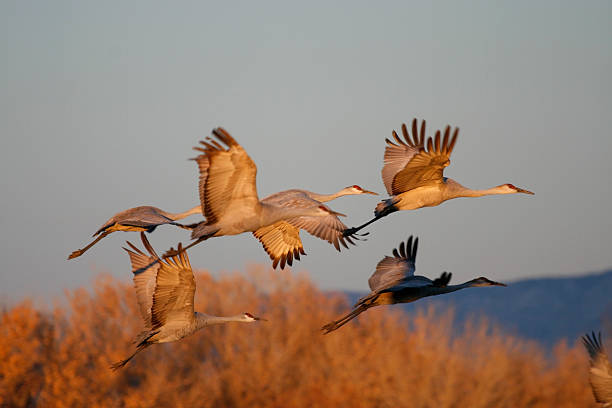 Sandhill Cranes in the Sunset stock photo