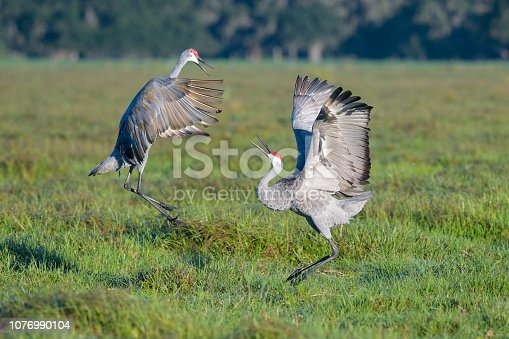 Jumping and dancing birds in Florida.