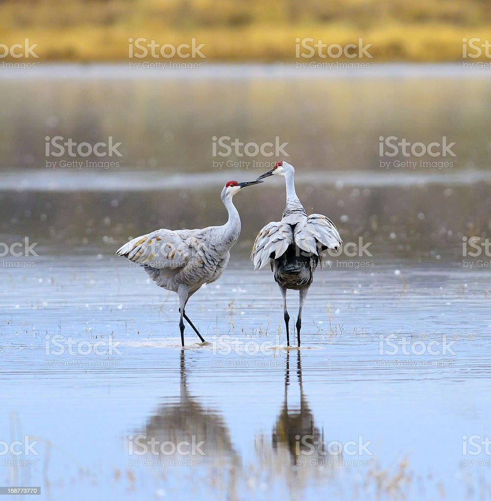 Sandhill Cranes kissing royalty-free stock photo