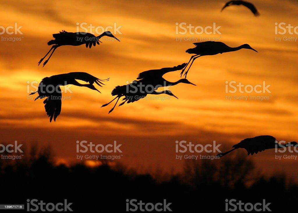 Kanadischer Kranich Landung bei Sonnenuntergang Lizenzfreies stock-foto