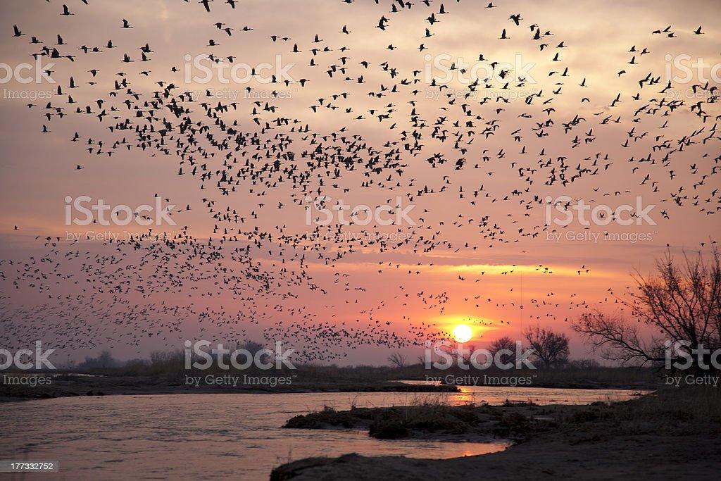 Sandhill Cranes near Kearney, Nebraska. stock photo