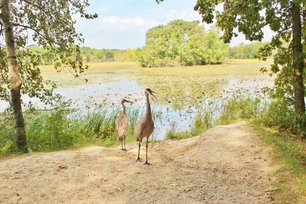Sandhill cranes near the water's edge stock photo
