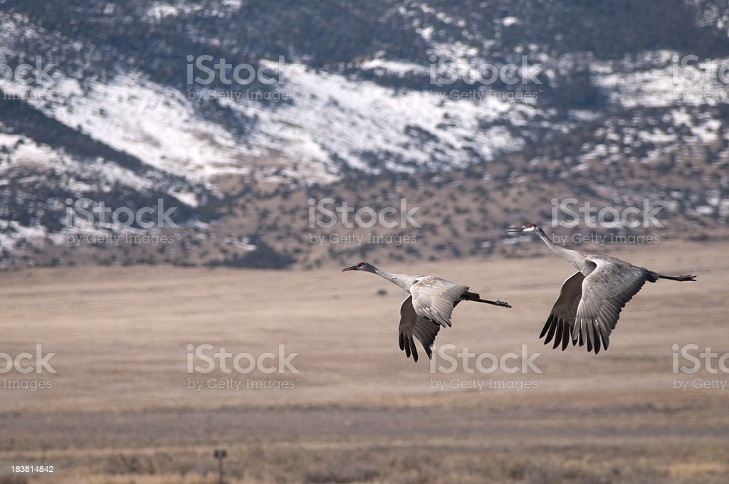Sandhill Cranes Over Monte Vista, Colorado stock photo