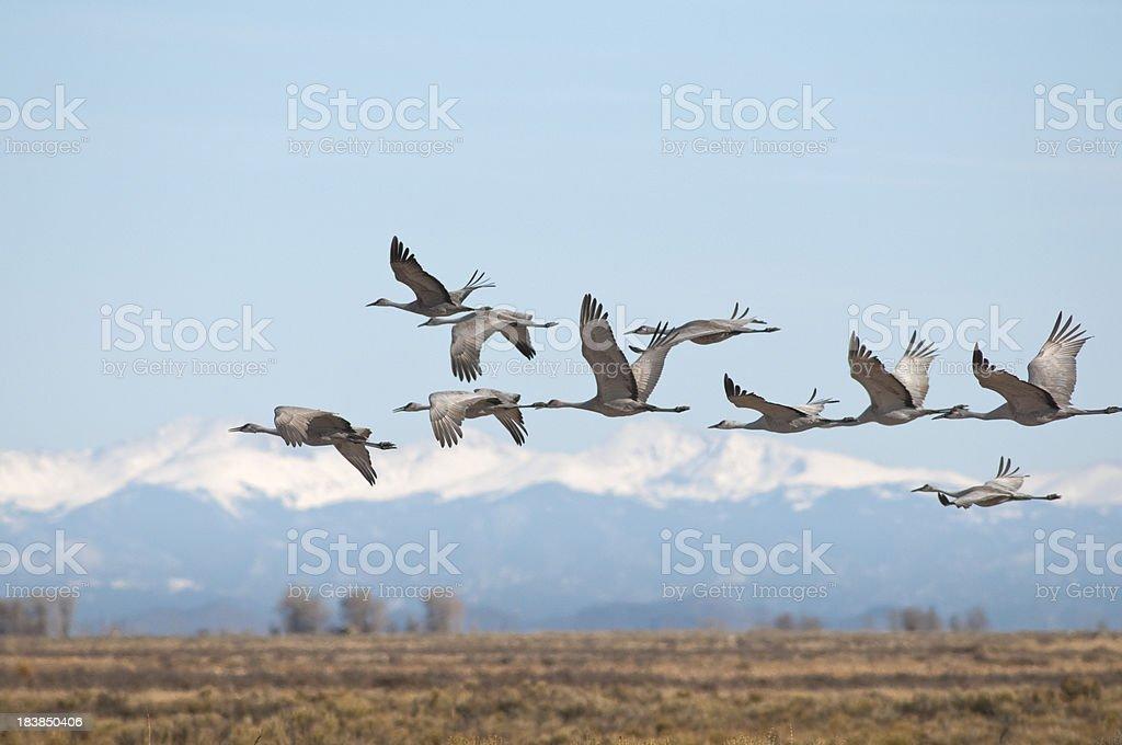 Sandhill Cranes Over Monte Vista, Colorado royalty-free stock photo