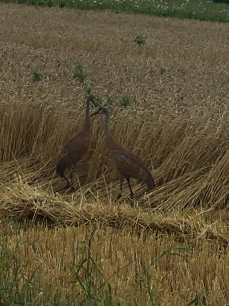Sandhill Cranes stock photo