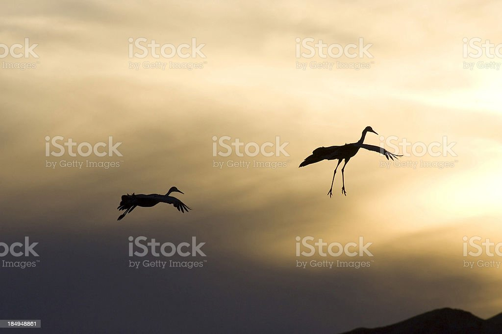 Sandhill cranes royalty-free stock photo