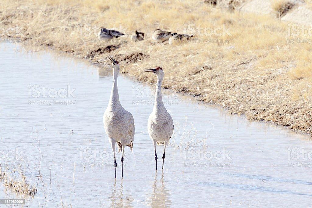 Sandhill Cranes trumpeting stock photo