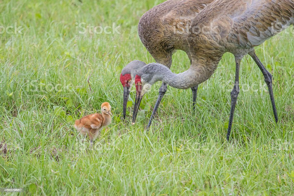Sandhill Cranes with young chick stock photo