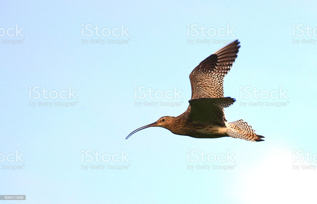 sandpiper bird in flight stock photo