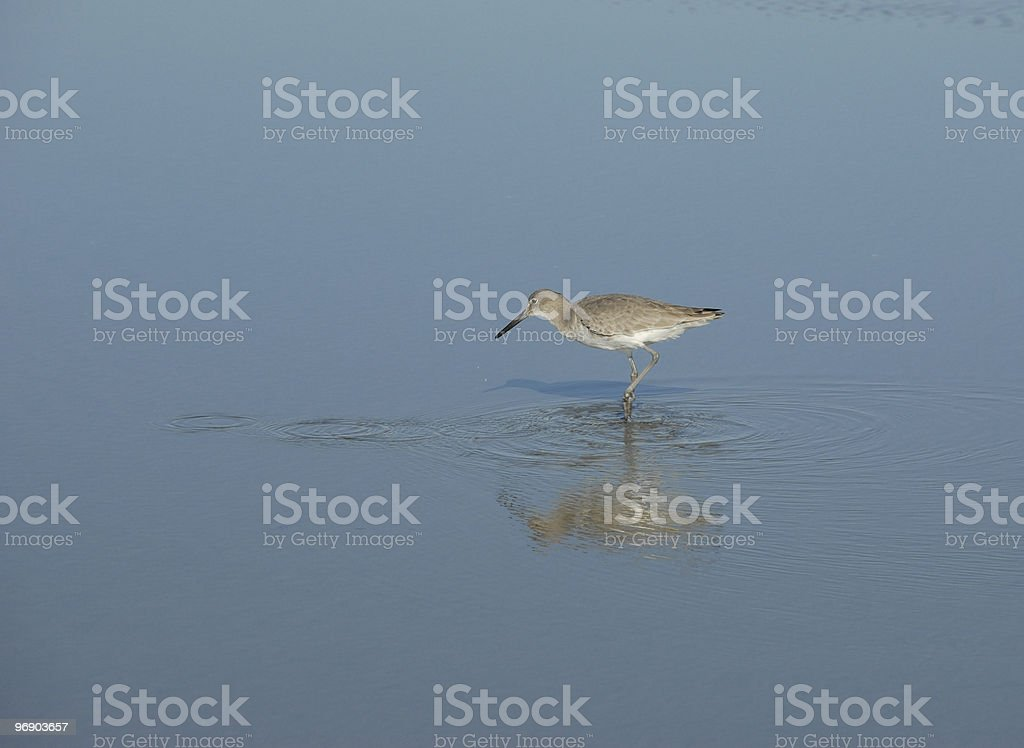 Sandpiper follows the ripples left by its prey royalty-free stock photo