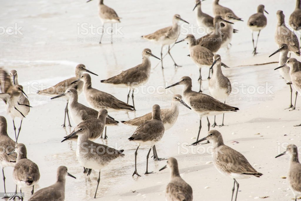 Sandpiper gathering stock photo