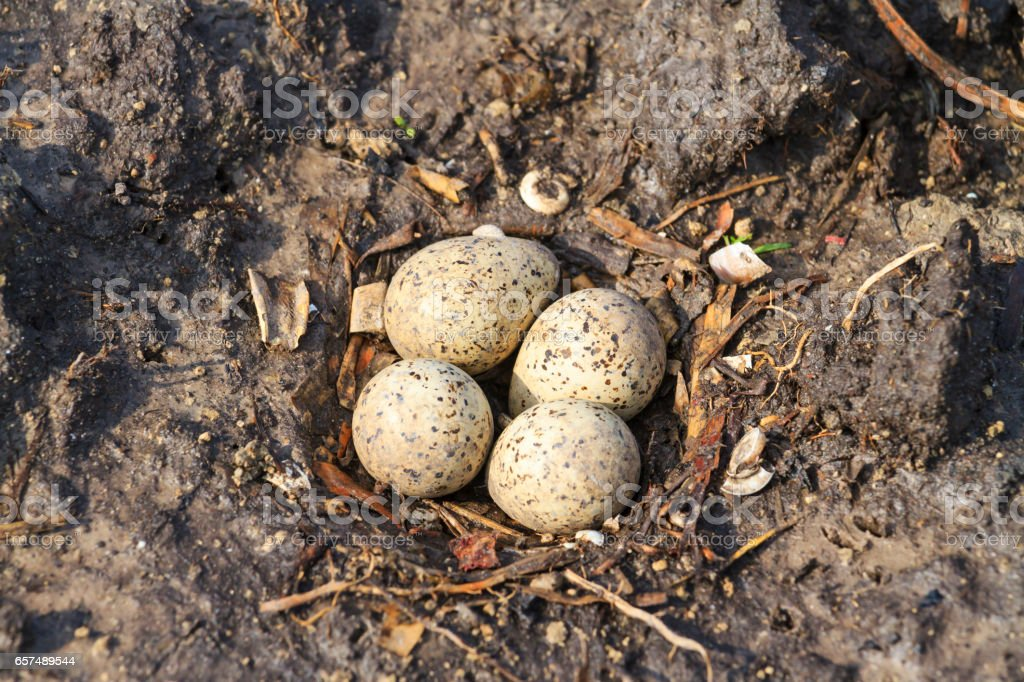sandpiper nest on the ground and four eggs stock photo