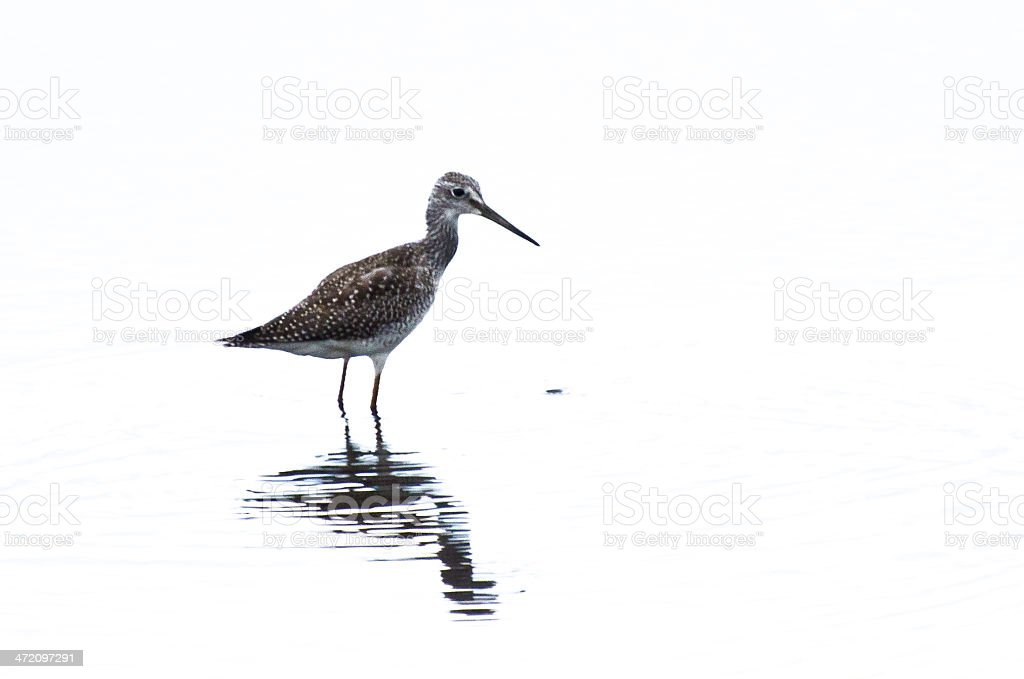 Sandpiper on White Background stock photo