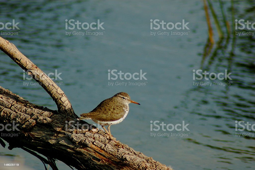 Sandpiper royalty-free stock photo