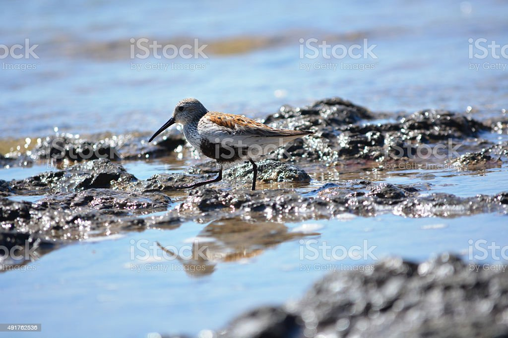Sandpiper Reflection in the Surf stock photo