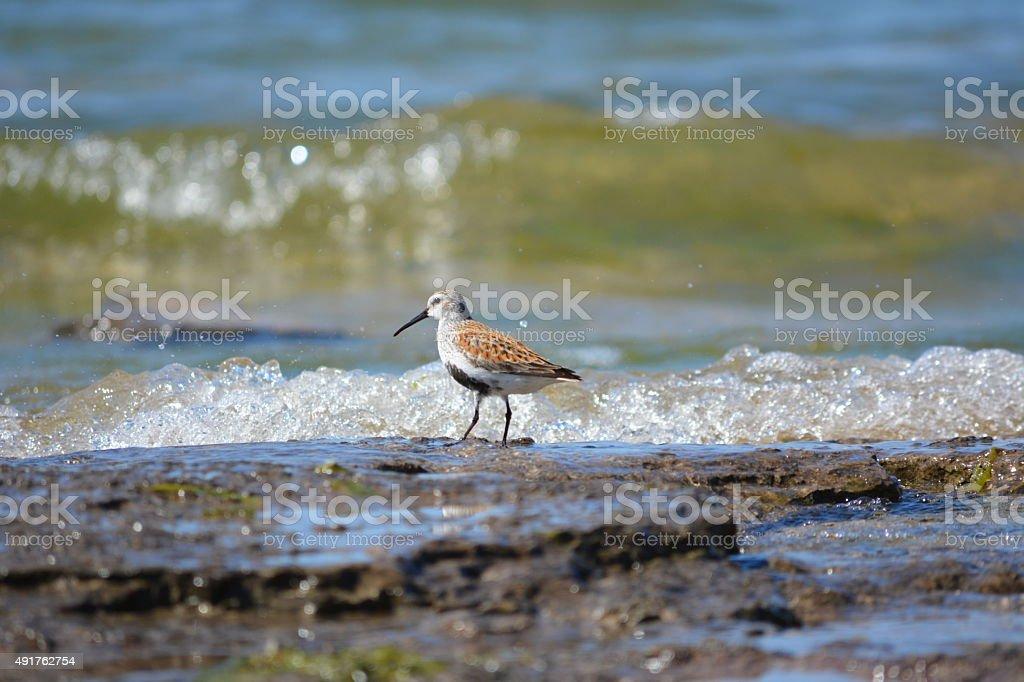 Sandpiper Runs alone the Beach stock photo