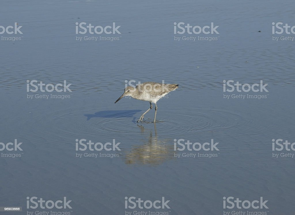 Sandpiper stalks its prey in beach shallows royalty-free stock photo