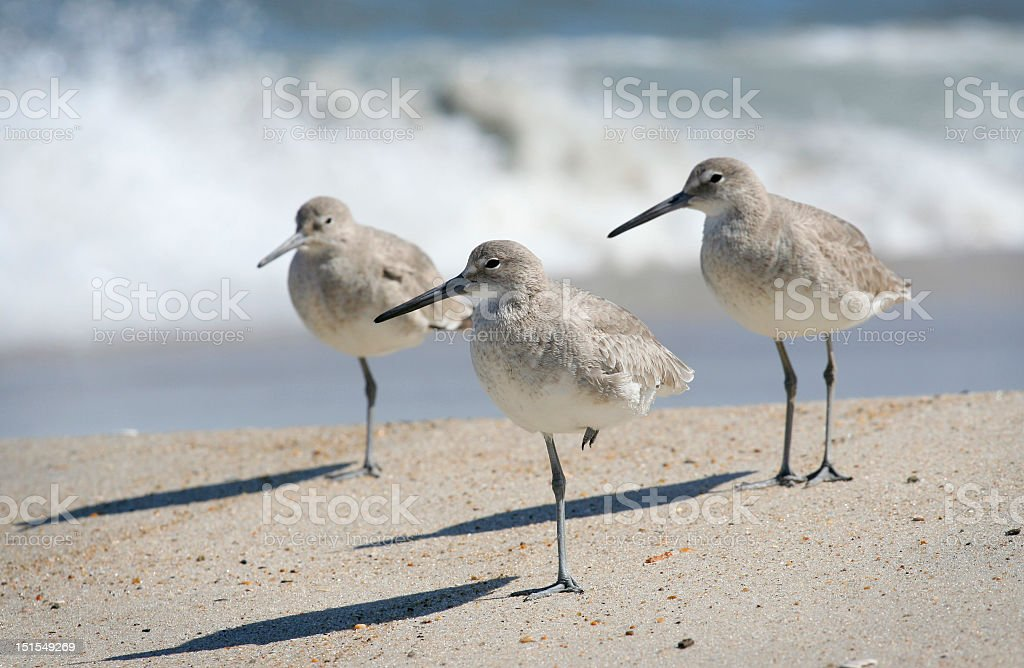 Sandpipers all looking to the right on a beach stock photo
