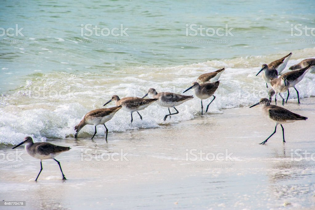 Sandpipers and surf stock photo