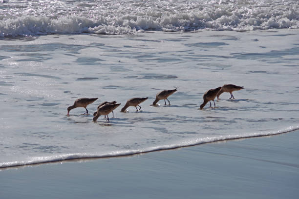 Sandpipers Foraging stock photo