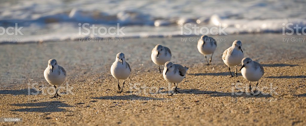 Sandpipers on the Beach Near Surf Late Day stock photo