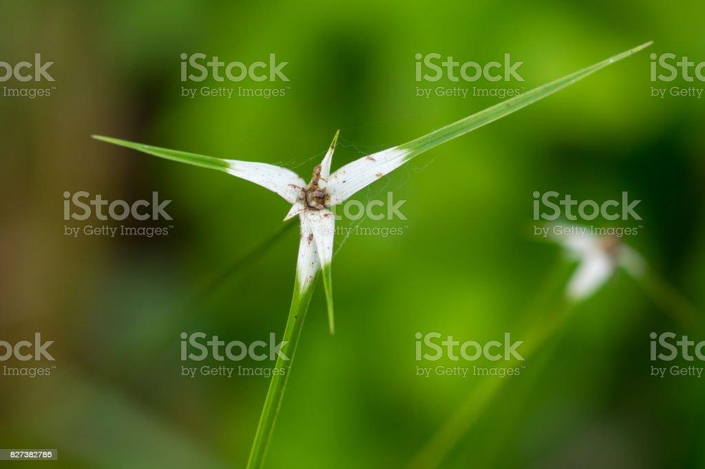 Areia-pântano Cardaria junça (Rhynchospora latifolia) - foto de acervo