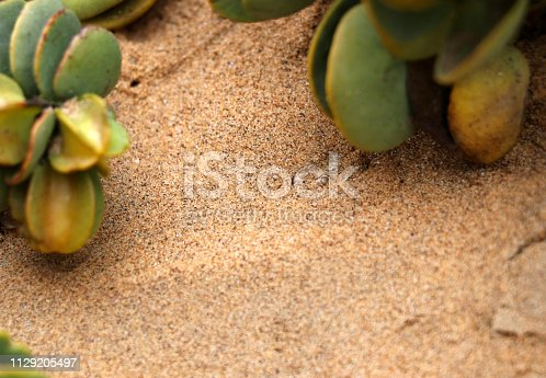 sandviper in the sand - Namibia Africa